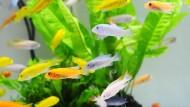 Tebar Pesona Ikan Hias