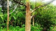 Bubur Bordo & Pohon Durian