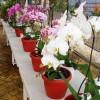 Standar Ekspor Anggrek Phalaenopsis