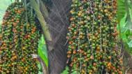 Bioetanol Cap Tikus