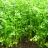 tanaman seledri,budidaya,menanam,manfaat, daun seledri, LMGA AGRO,toko online