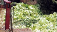 Biogas Sampah Sayuran (2)