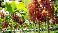 Wisata Anggur Di Yamanashi