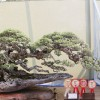 Grand Indonesian Bonsai & Suiseki Exhibition 2014 (1)