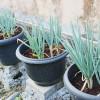 Bertanam Bawang Daun Di Pot