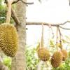Ini Dia Tabulampot Durian