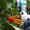Robot Pintar Panen Paprika