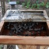 Budidaya Lebah Madu Klanceng (2)