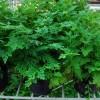 Rumput Kipas Dan Infeksi Saluran Kencing