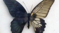 Kupu-kupu Banci Dua Warna
