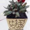 Euphorbia Langka Dan Unik