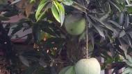 Mangga Kelapa Berbuah Di Pekarangan