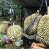 Pepaya Dan Mabuk Durian