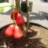 Tabulampot Jambu Citra Berbuah