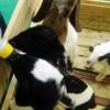 Susu Pengganti Untuk Anak Kambing