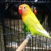 Ngekek Lovebird Juara