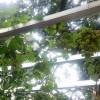 Bebeja Flona 2017 (2): Anggur Hijau Dari Ukraina