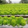 Tumpangsari Sayuran Di Kabupaten Bandung Barat