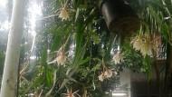 Air Tajin Dan Bunga Wijayakusuma