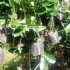 Sambung Susu Black Sapote