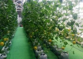 Bebeja 12th Agrinex Expo 2018 (2): Kebun Melon Hibrida