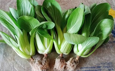Sayuran Hidroponik Pilihan