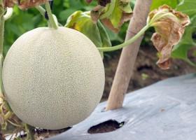 5 Cara Halau Embun Tepung Melon