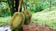 Atasi Kanker Batang Durian