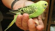 Bikin Burung Parkit Bertelur