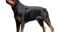 Rottweiler Calon Juara