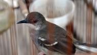 Obat Panas Dalam Burung Kicauan