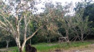 Stump Grafting Remajakan Pohon Tua