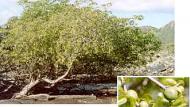 Manchineel Pohon Beracun