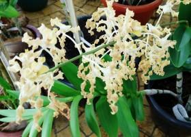 Dendrobium Versus Kecoak
