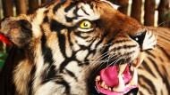 Harimau Sumatera Harta Impian