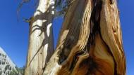 Pohon Pinus 4.600 Tahun