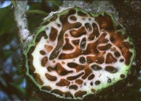 Sarang Semut Papua Sampai Jawa
