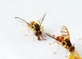Lalat Buah Daya Rusak Dahsyat
