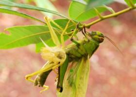 4 Resep Pestisida Nabati