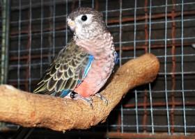 Burung Parkit Bertelur Di Sarang Kelapa