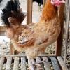 Sedia Ayam Arab Baru (Elba)