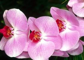 Pupuk Organik Anggrek Phalaenopsis