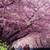Sakura Flower Festival
