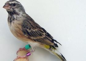 Terpikat Burung Kicauan Impor