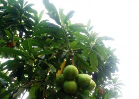 11 Pestisida Nabati Pilihan