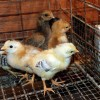 Potret Bisnis DOC Ayam Kampung