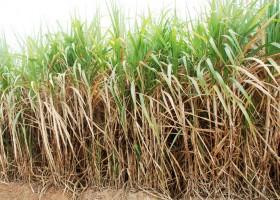 Berguru Bioetanol Pada Brazil