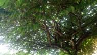 Pohon Kersen Undang Burung