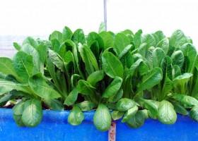 Petik Sayuran Hidroponik Di Malang