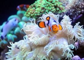 Penangkaran Ikan Badut Di Thailand